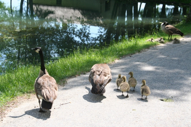 The grown geese hissed at us as we passed. One more gosling and our families would match, though I don't usually hiss at others.